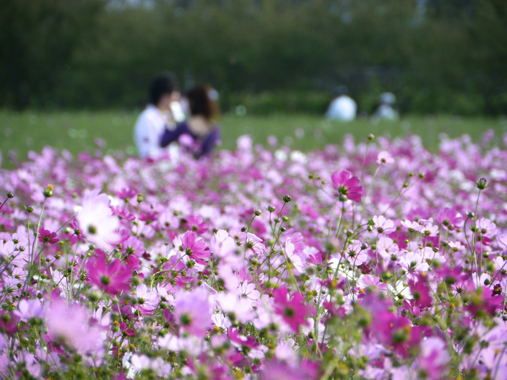 in_love_cosmos_flower_garden1